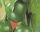pimentonplanta